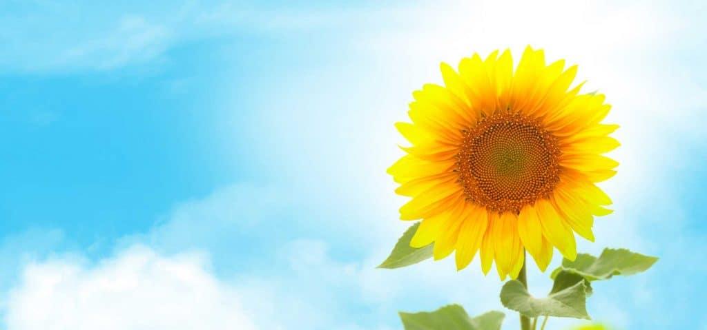 sunny sunflower AJ73UYL