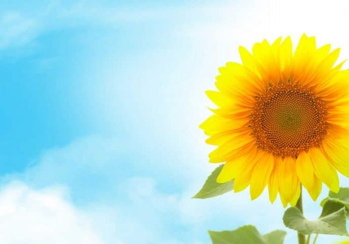 sunny-sunflower-AJ73UYL